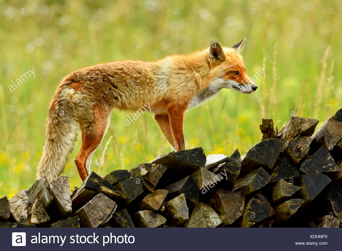 Red fox (Vulpes vulpes) standing on wood pile, captive, Canton of Zurich, Switzerland - Stock Image