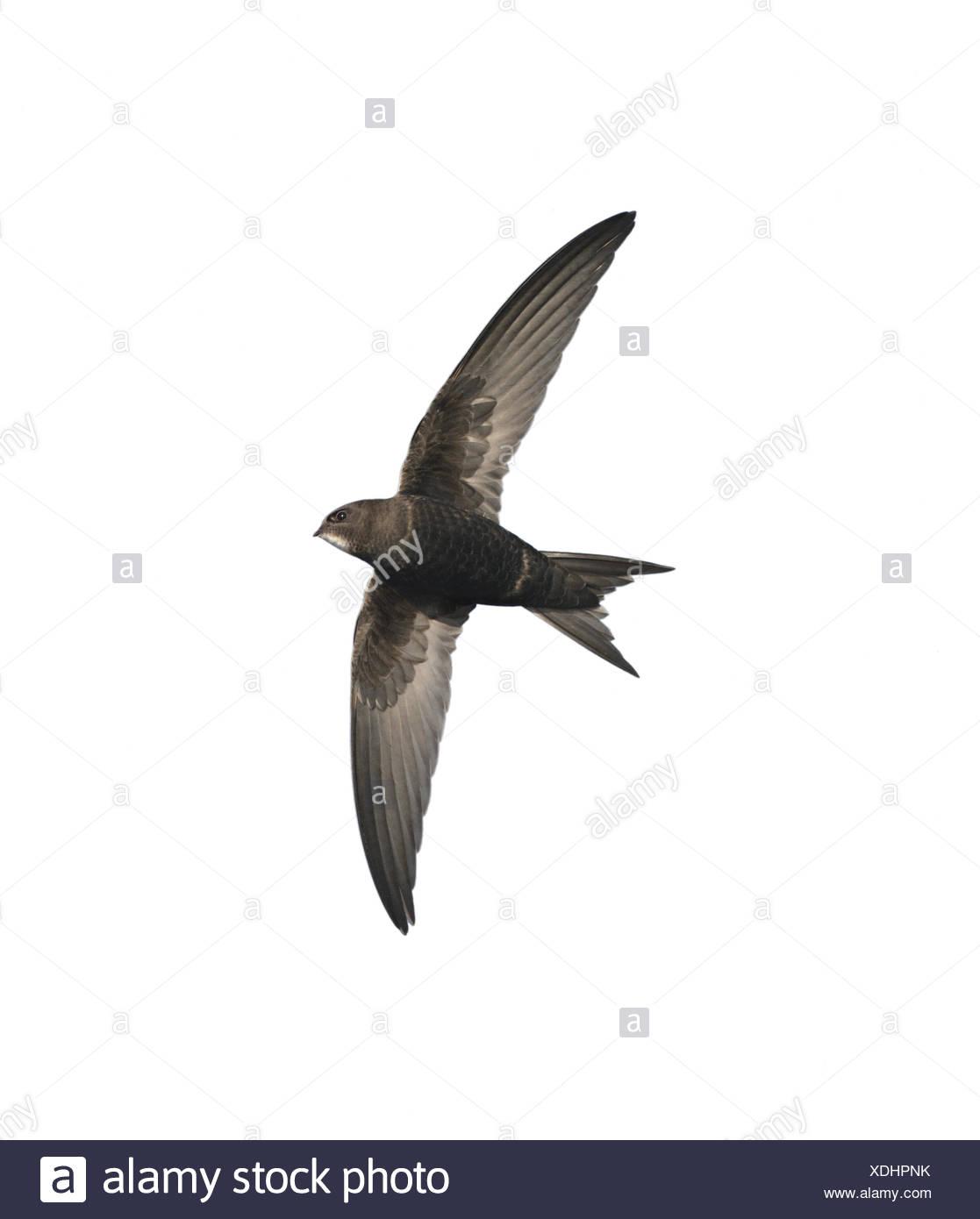 Swift - Apus apus - Stock Image