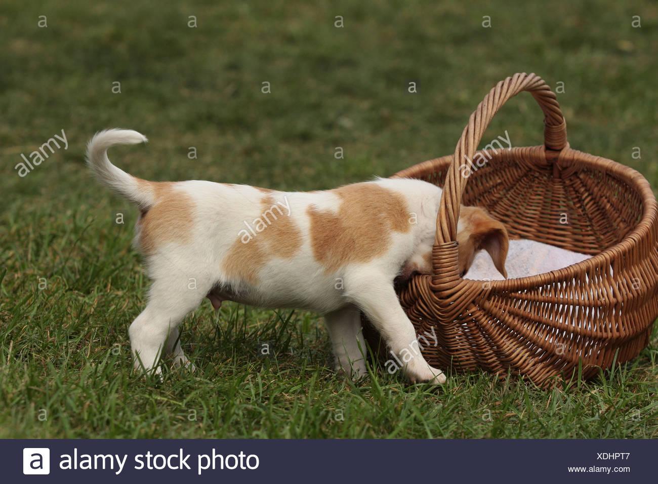 Kromfohrländer Puppy - Stock Image