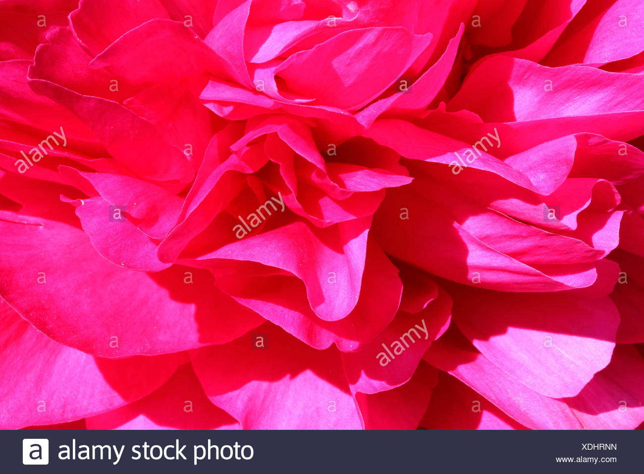 Peony, Paeonia, Close up pink coloured flower head giving an abtract effect. - Stock Image