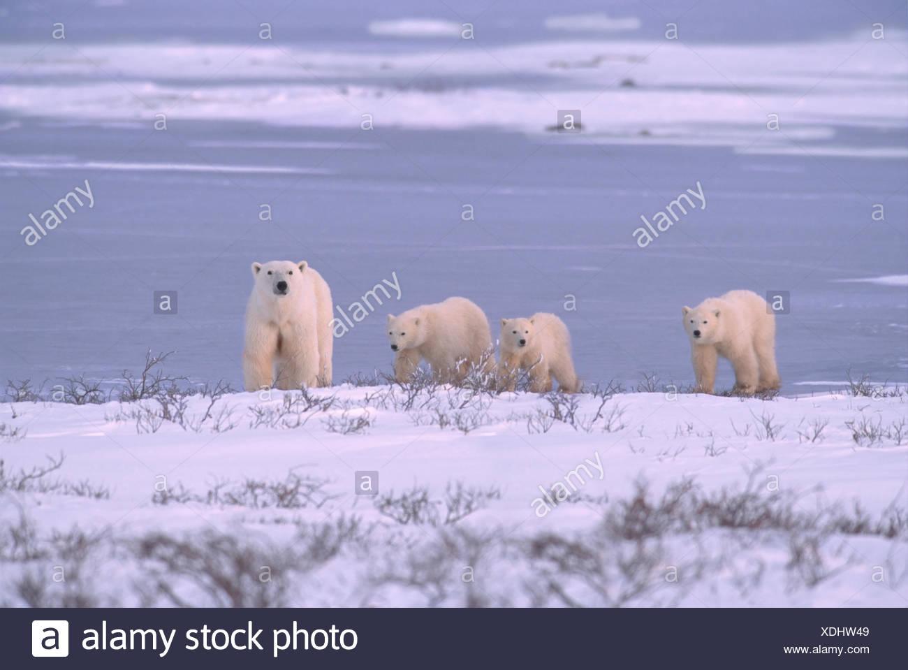 Polar bear mother with three cubs (unusual), Ursus maritimus, walk along shoreline near Churchill, Manitoba, Canada - Stock Image