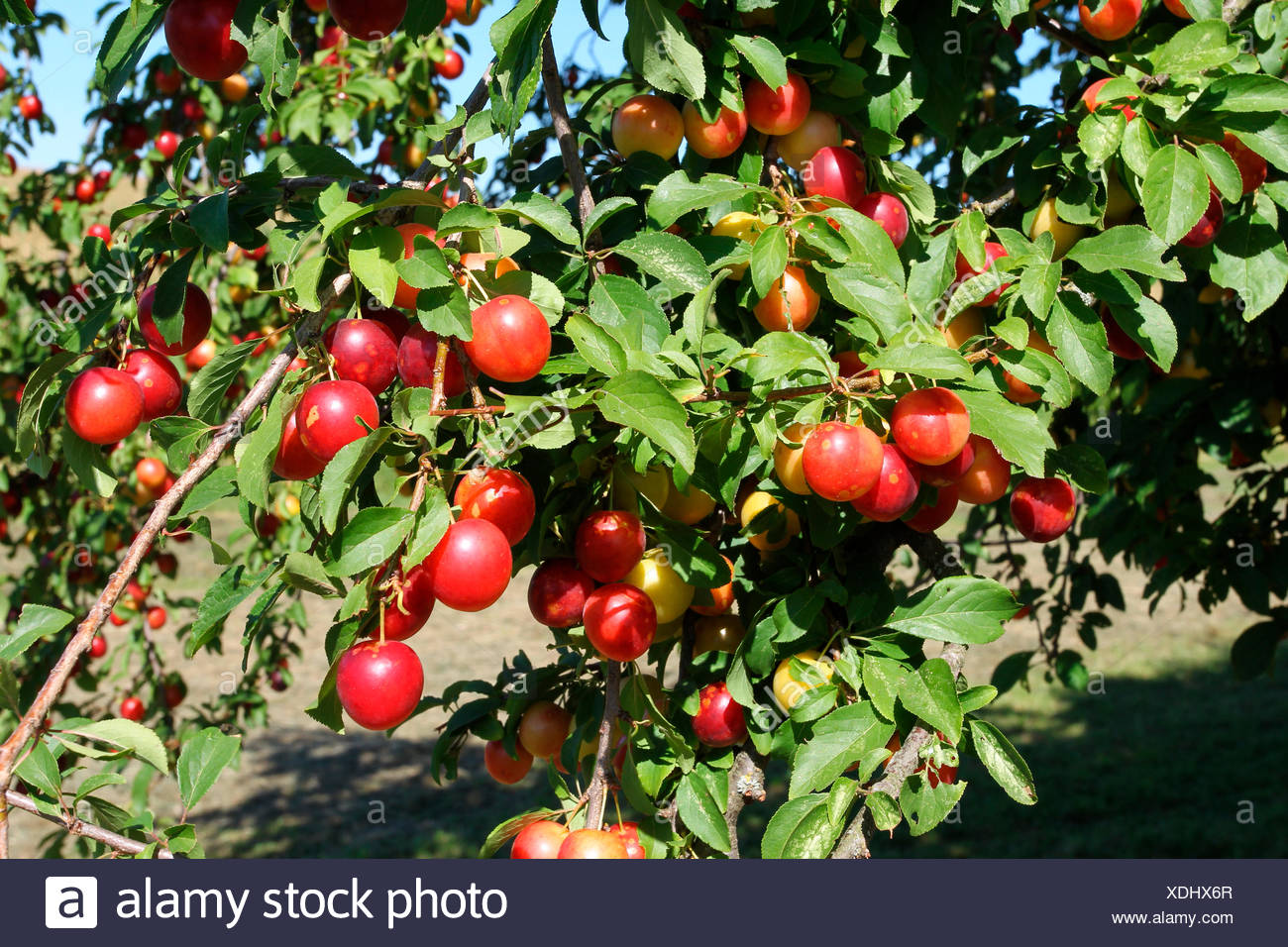 Greek Cherry Plum Or Myrobalan Plum Prunus Cerasifera Organic