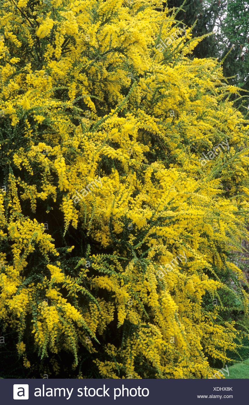 Acacia Pravissima Aromatic Scented Shrub Yellow Flowers Garden Plant