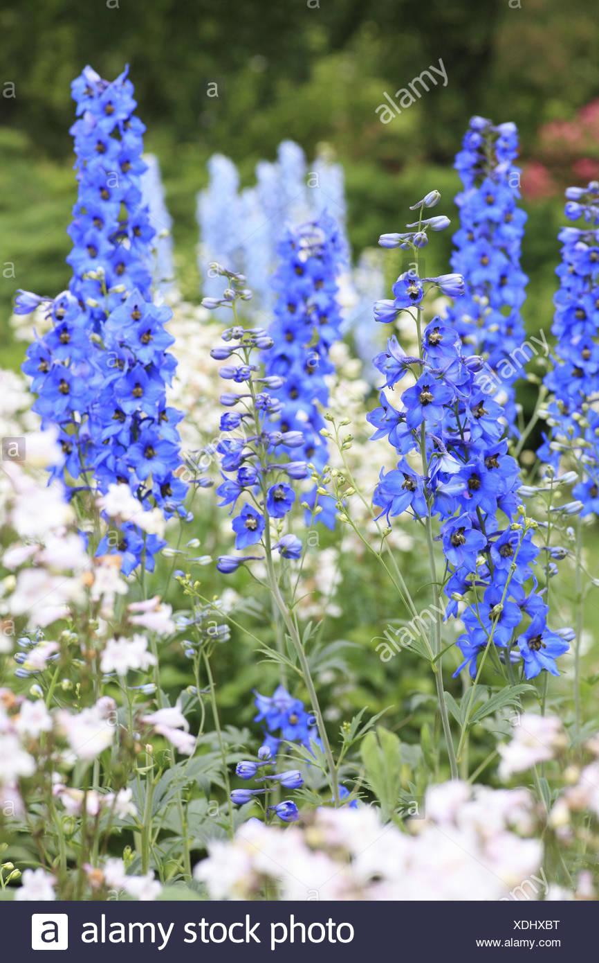 Blue larkspur, Delphinium consolida, Ranunculaceae, - Stock Image