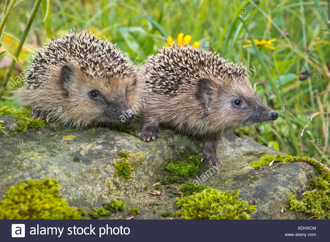 European hedgehog (Erinaceus europaeus), Tyrol, Austria - Stock Image