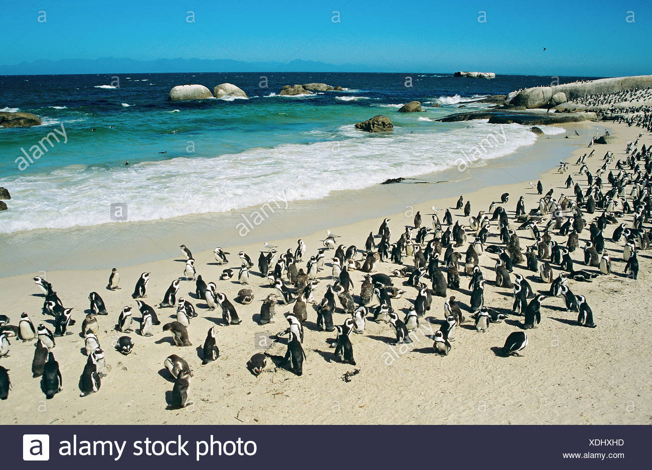 Jackass Penguin, African Penguin (Spheniscus demersus). Breeding colony on a beach. Boulders Beach, South Africa - Stock Image