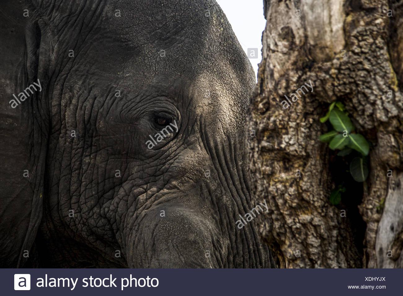 A close up of an Elephant, Loxodonta africana, next to a tree. - Stock Image