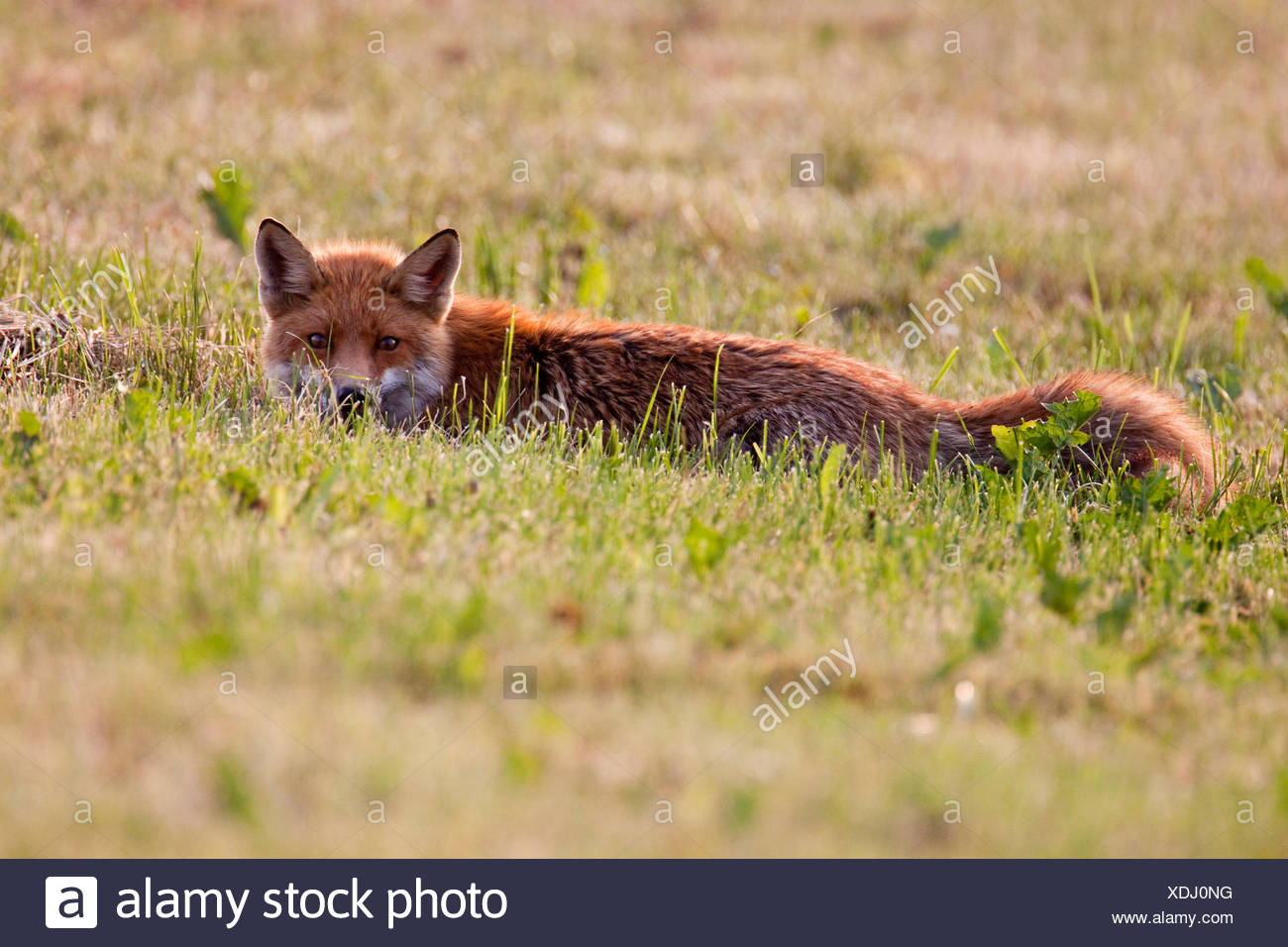 Red Fox (Vulpes vulpes) crouching in the grass - Stock Image