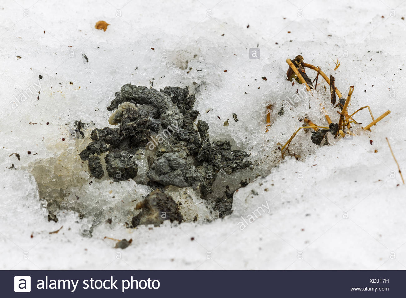 American Mink (Neovison vison, Mustela vison),  droppings with typical scales of a fish  in snow - Stock Image