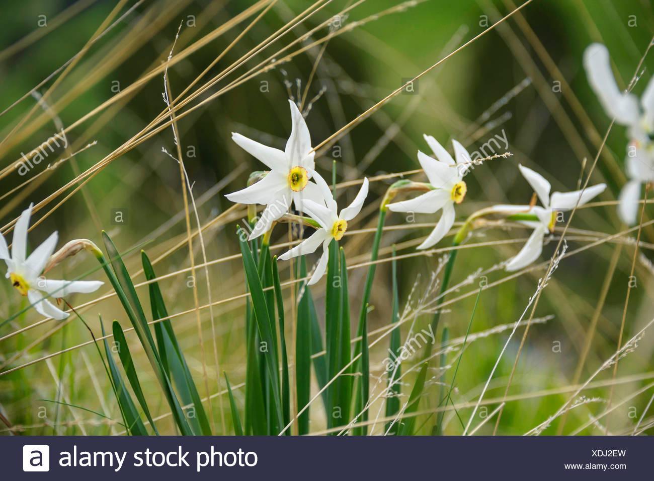 pheasant's-eye daffodil, pheasant's-eye narcissus, poet's narcissus (Narcissus poeticus), blooming in a meadow, Andorra, Andorra - Stock Image