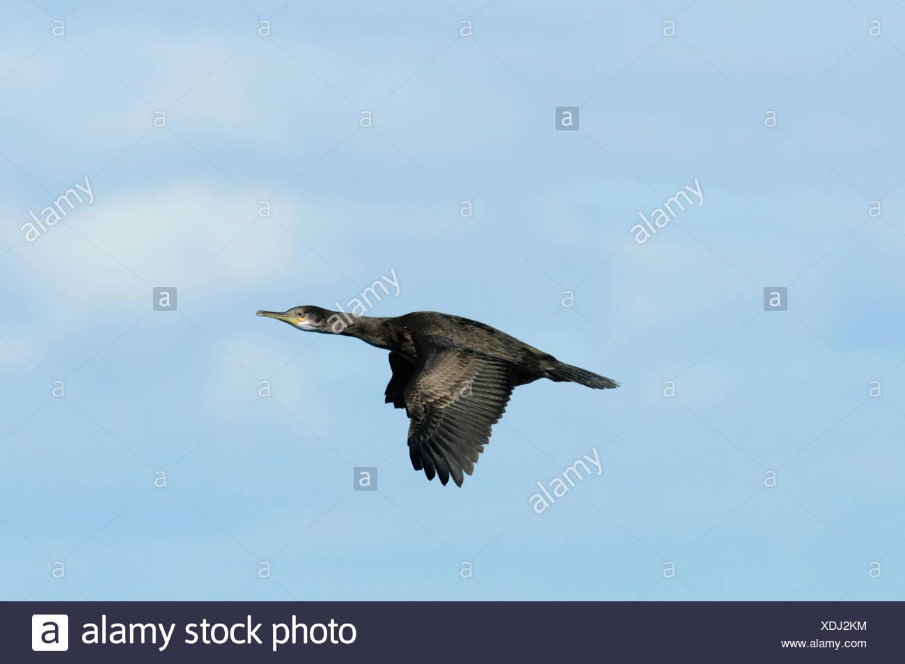 Shag Phalacrocorax aristotelis - Stock Image