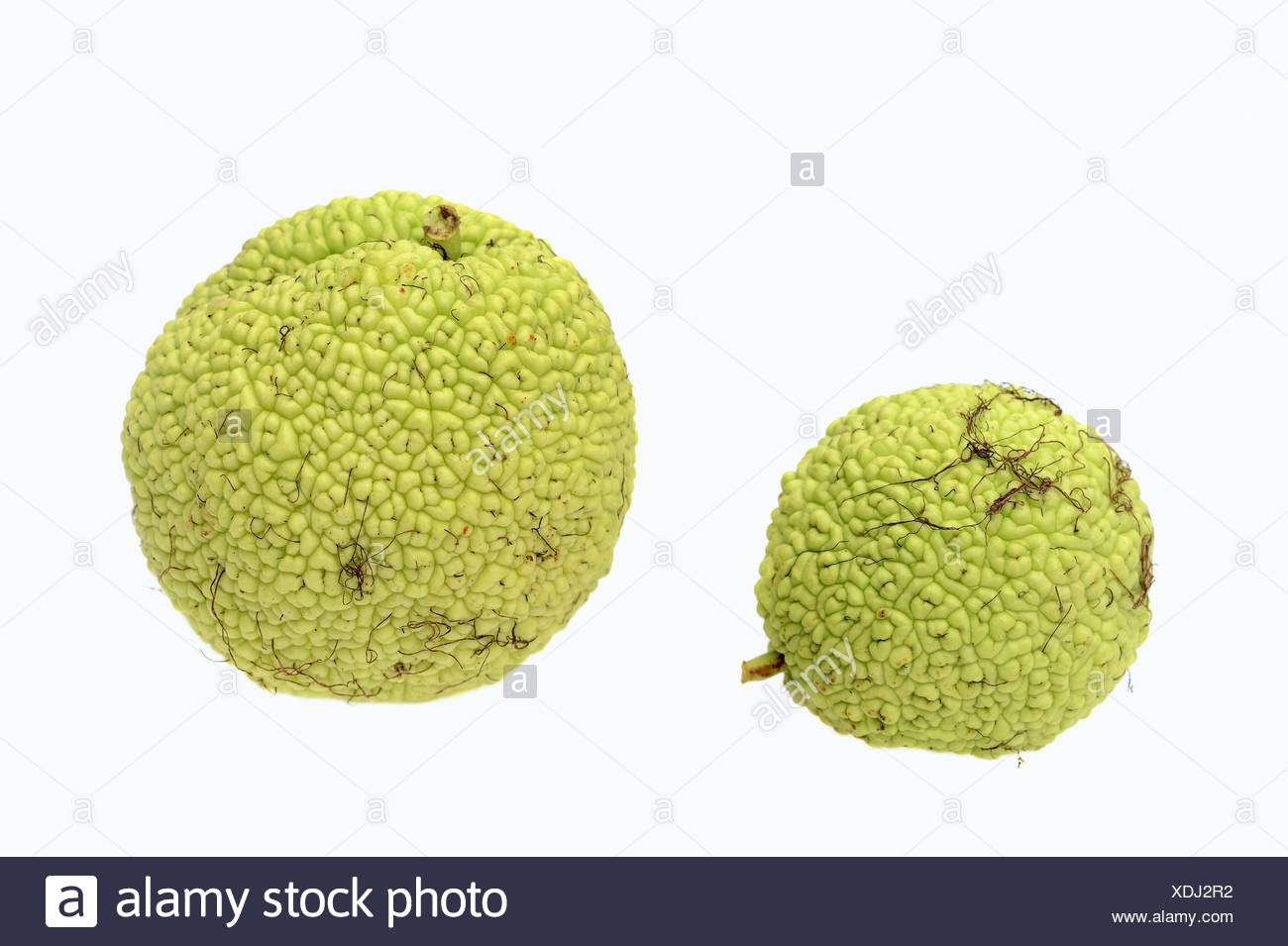 Osage Orange, Hedge Apple, Bodark or Bodock (Maclura pomifera), fruits, native to the southern U.S. - Stock Image