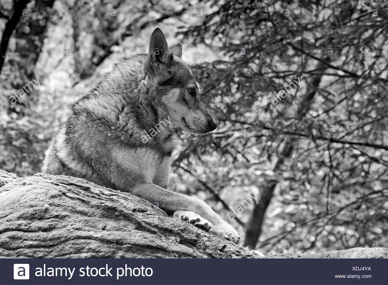 Czechoslovakian Wolfdog, A dog portrait in black and white, - Stock Image