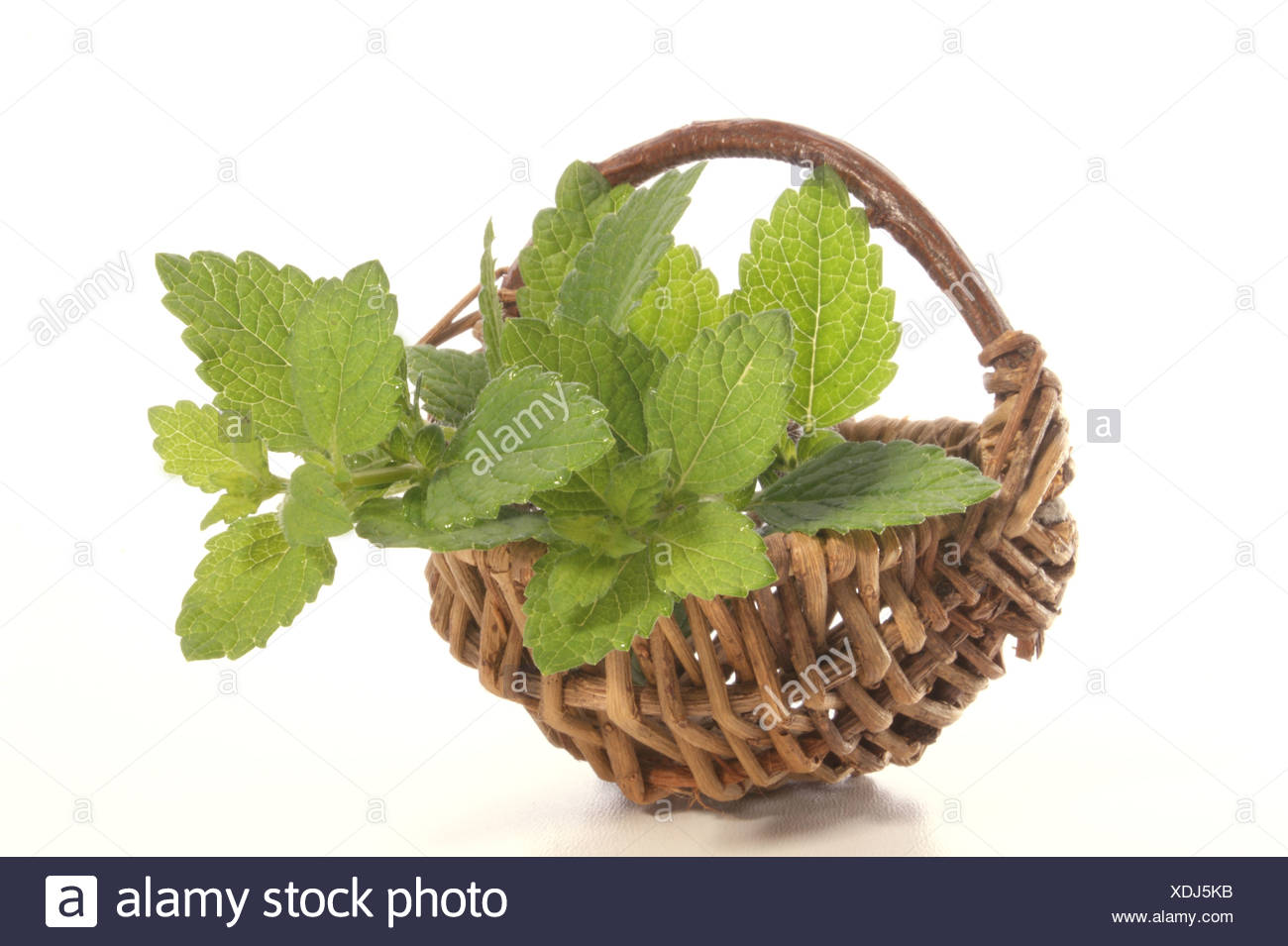 lemon balm perfect as spice in every kitchen - Stock Image