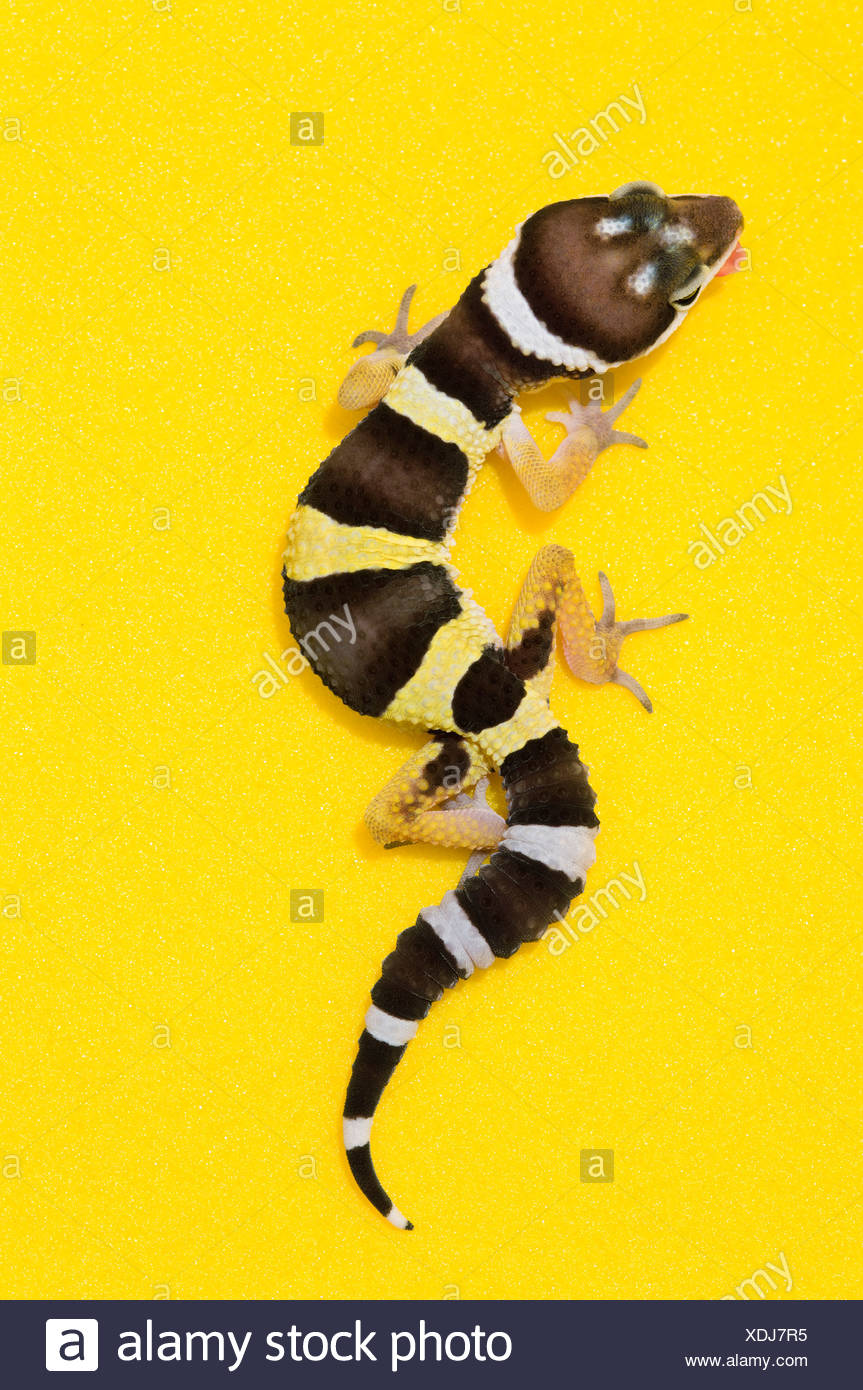 Baby Leopard Gecko On Yellow - Stock Image
