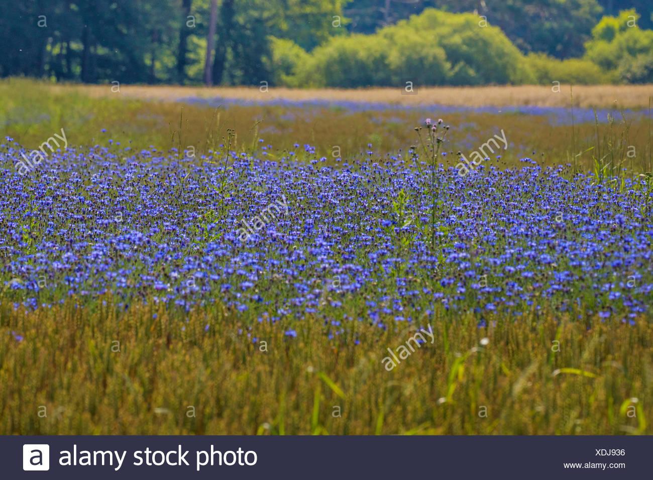 Kornblume (Centaurea cyanus), dichter bluehender Bestand in Weizenfeld, Deutschland, Bayern   bachelor's button, bluebottle, cor - Stock Image