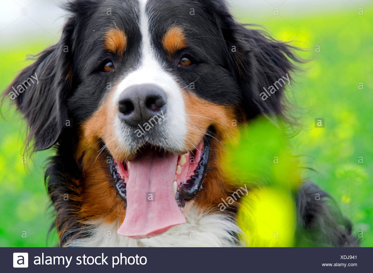 Bernese Mountain Dog portrait in flowers scenery - Stock Image