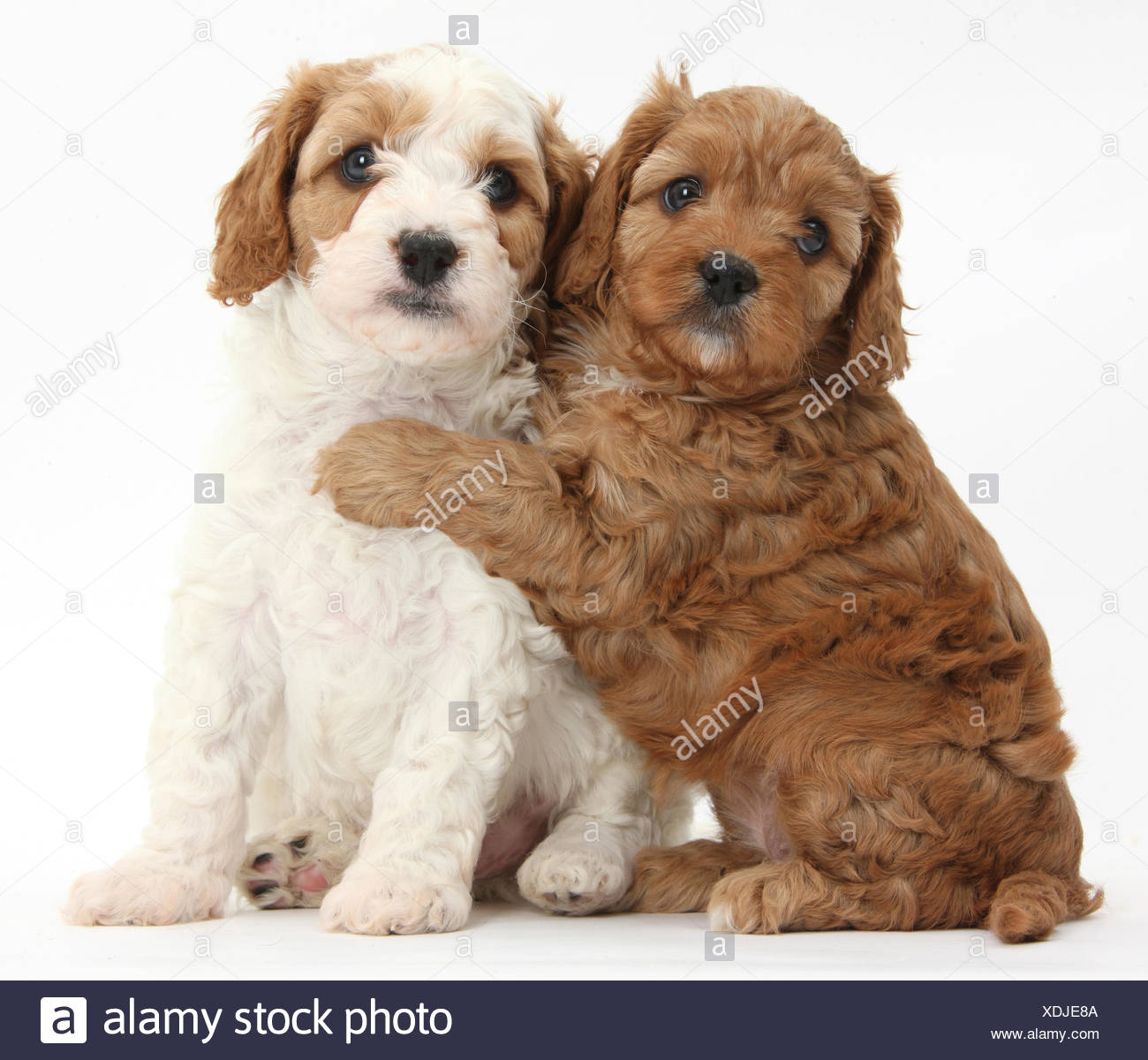 Page 2 White Cavapoo High Resolution Stock Photography And Images Alamy