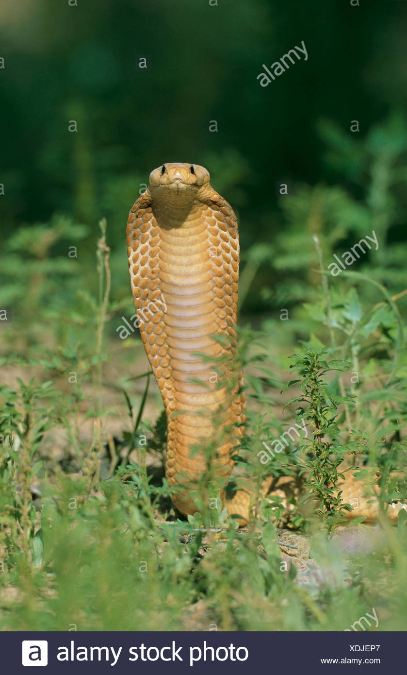 Cape Cobra / Naja nivea - Stock Image