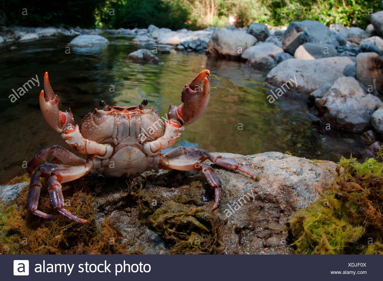 Potamon fluviatile is a rare freshwater italian crab, Vara valley, Genoa, Italy, Europe - Stock Image