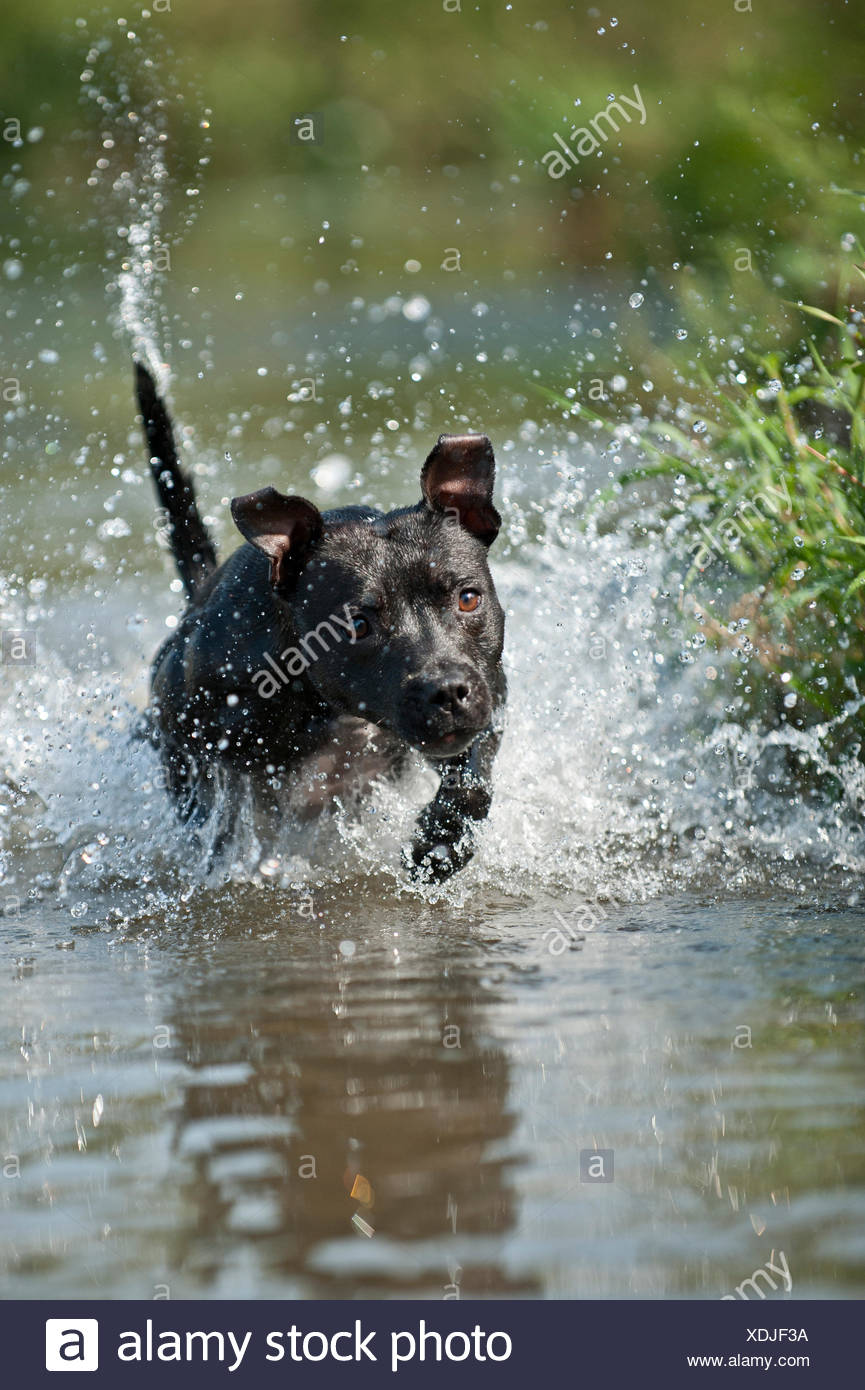 Old English Staffordshire Bull Terrier, dog running through the water - Stock Image