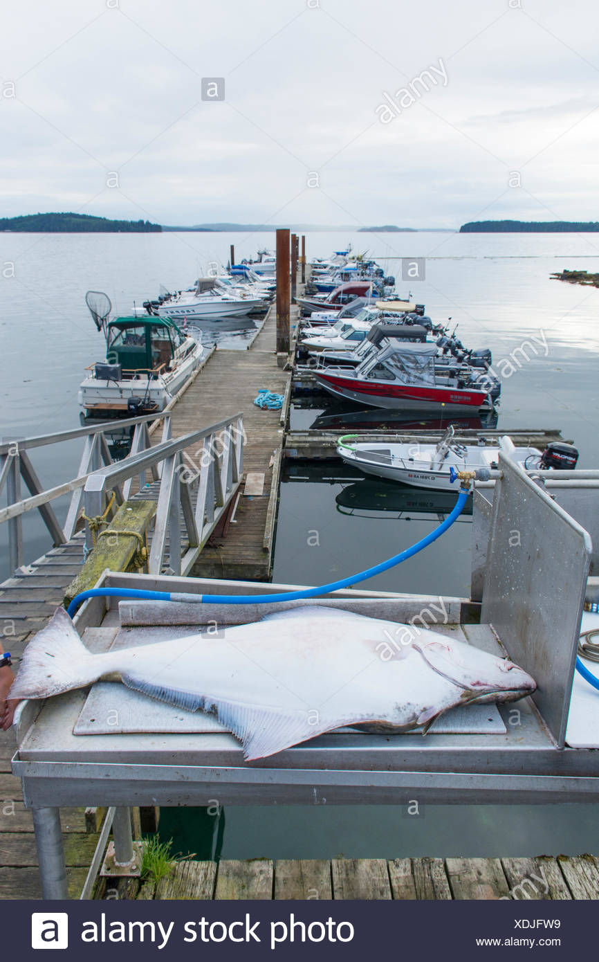 25 Kg., Halibut ready for dressing, Port McNeill, Vancouver Island, British Columbia, Canada - Stock Image