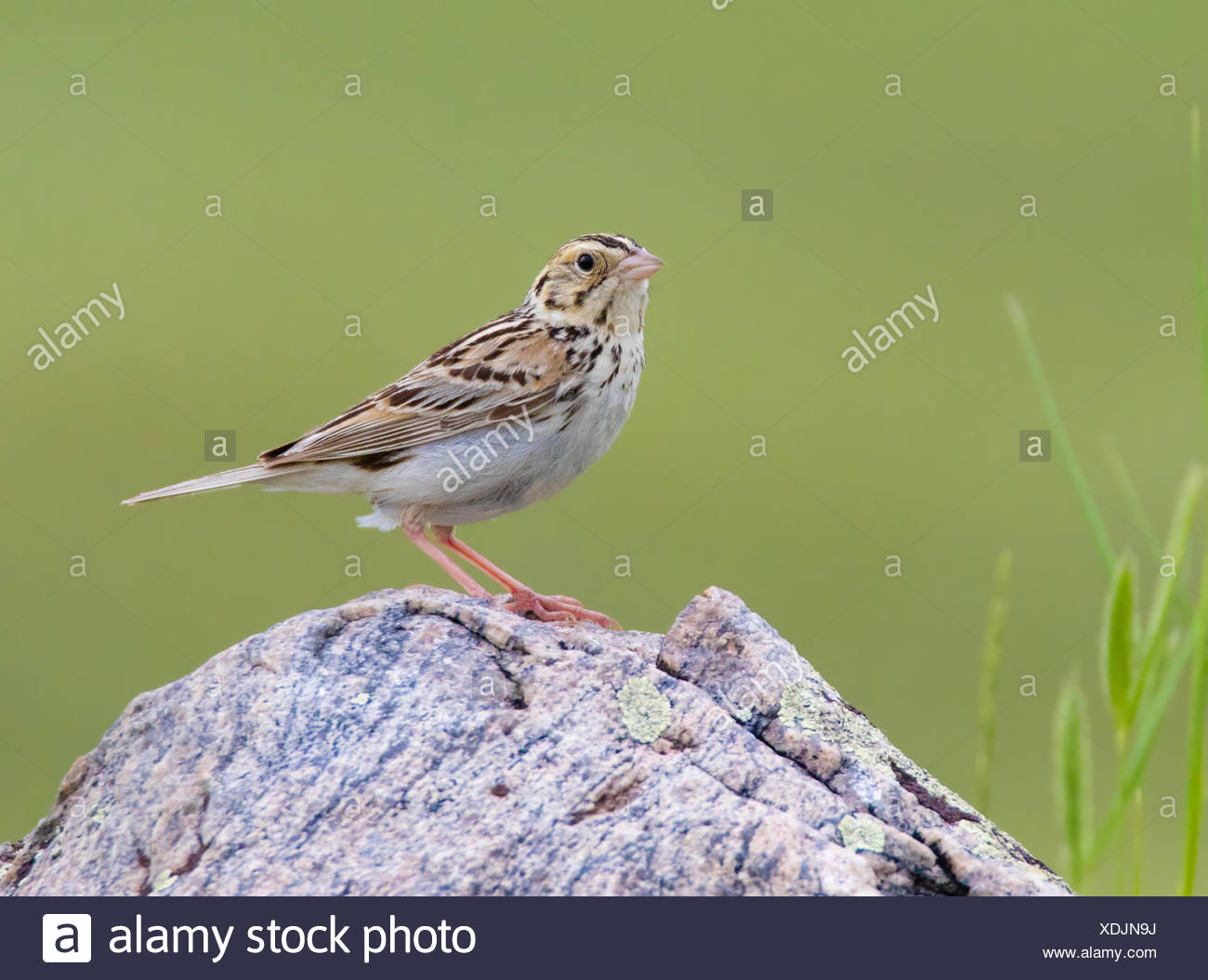 A Baird's Sparrow, Ammodramus bairdii, perched in a field at Grasslands National Park, Saskatchewan, Canada - Stock Image