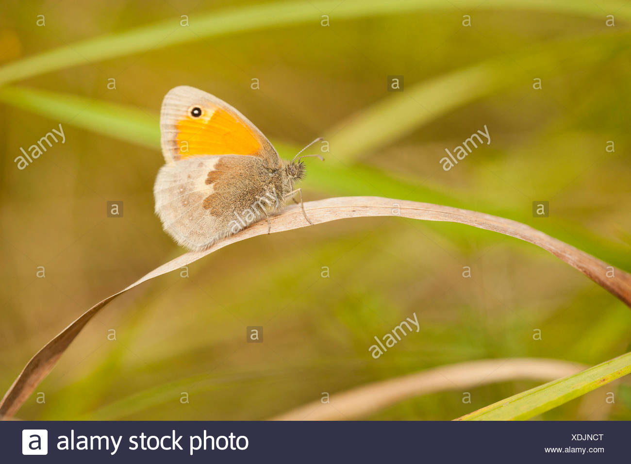 small heath (Coenonympha pamphilus), sitting on a blade of grass, Germany, Rhineland-Palatinate - Stock Image