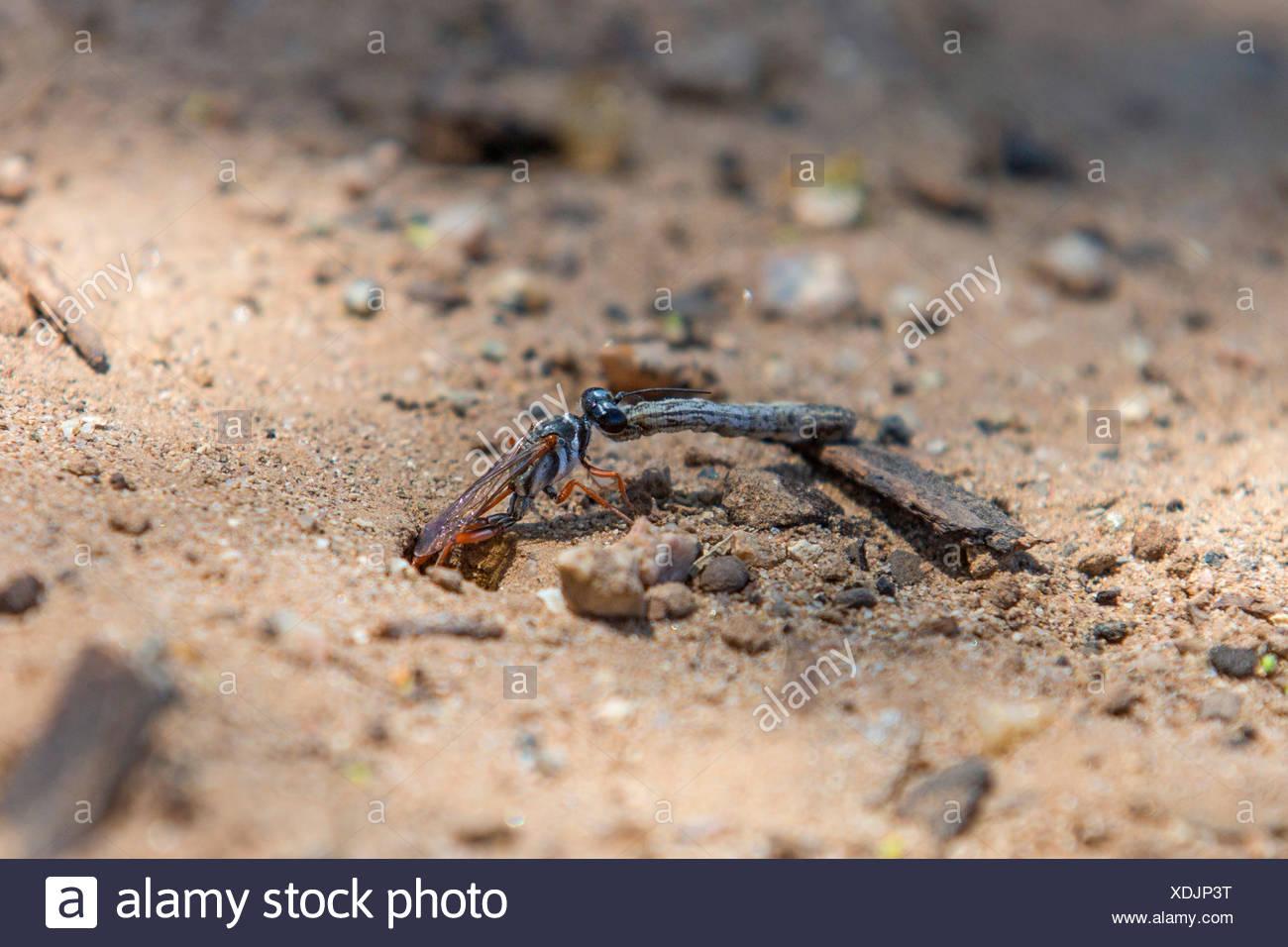 digger wasps, hunting wasps (Sphecidae, Sphegidae), pulling a caterpillar in a prey hiding-place, USA, Arizona, Phoenix Stock Photo