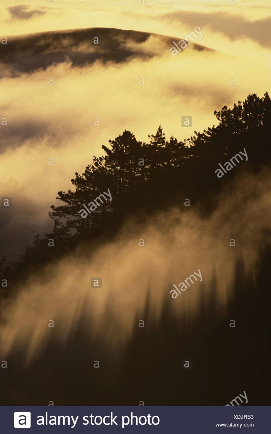 Big Sur California USA Coast redwoods in fog Sequoisempervirens Big Sur - Stock Image