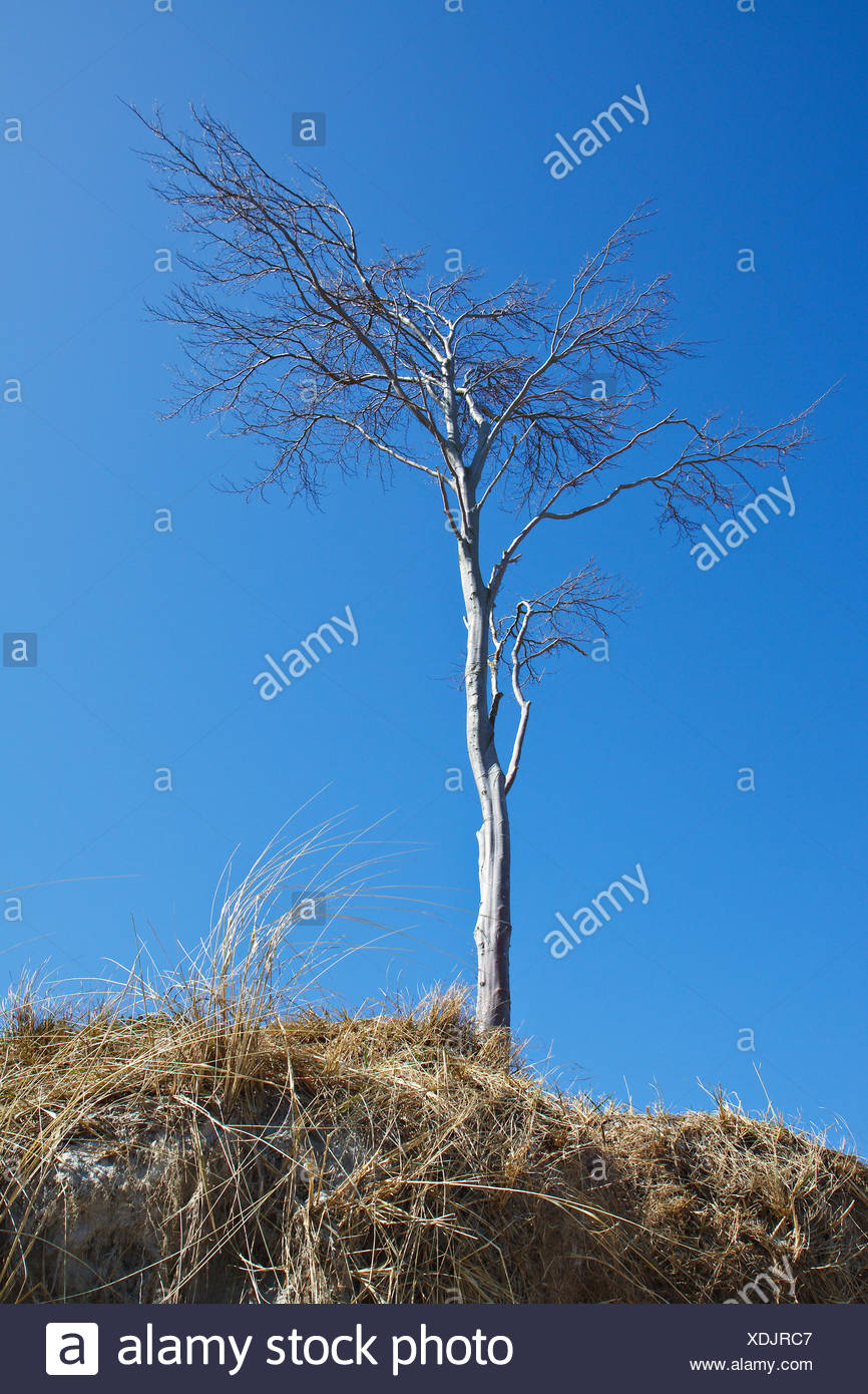 tree,completely bald - Stock Image