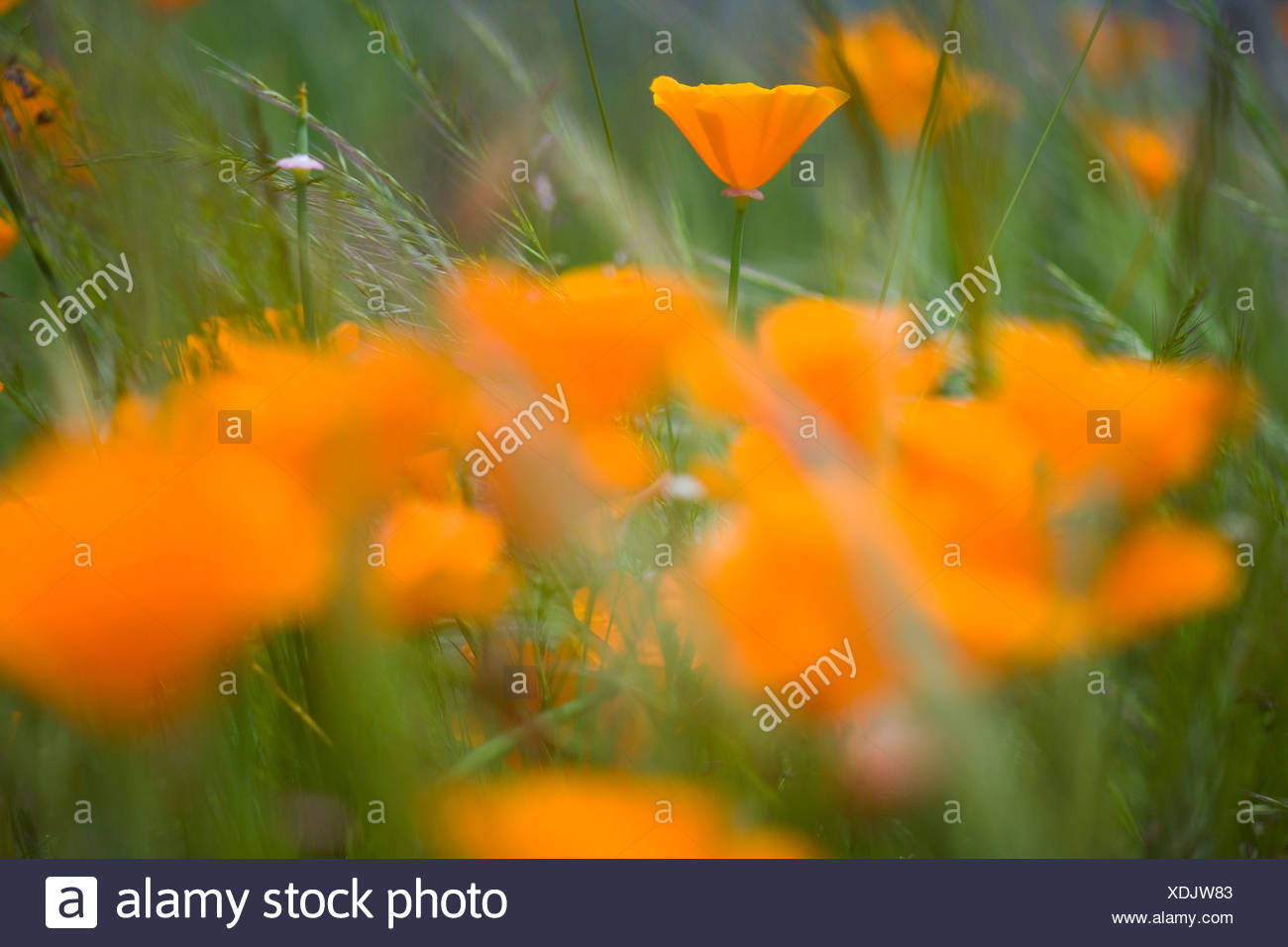 Close Up Of Orange Poppy Flowers Stock Photo 283771379 Alamy
