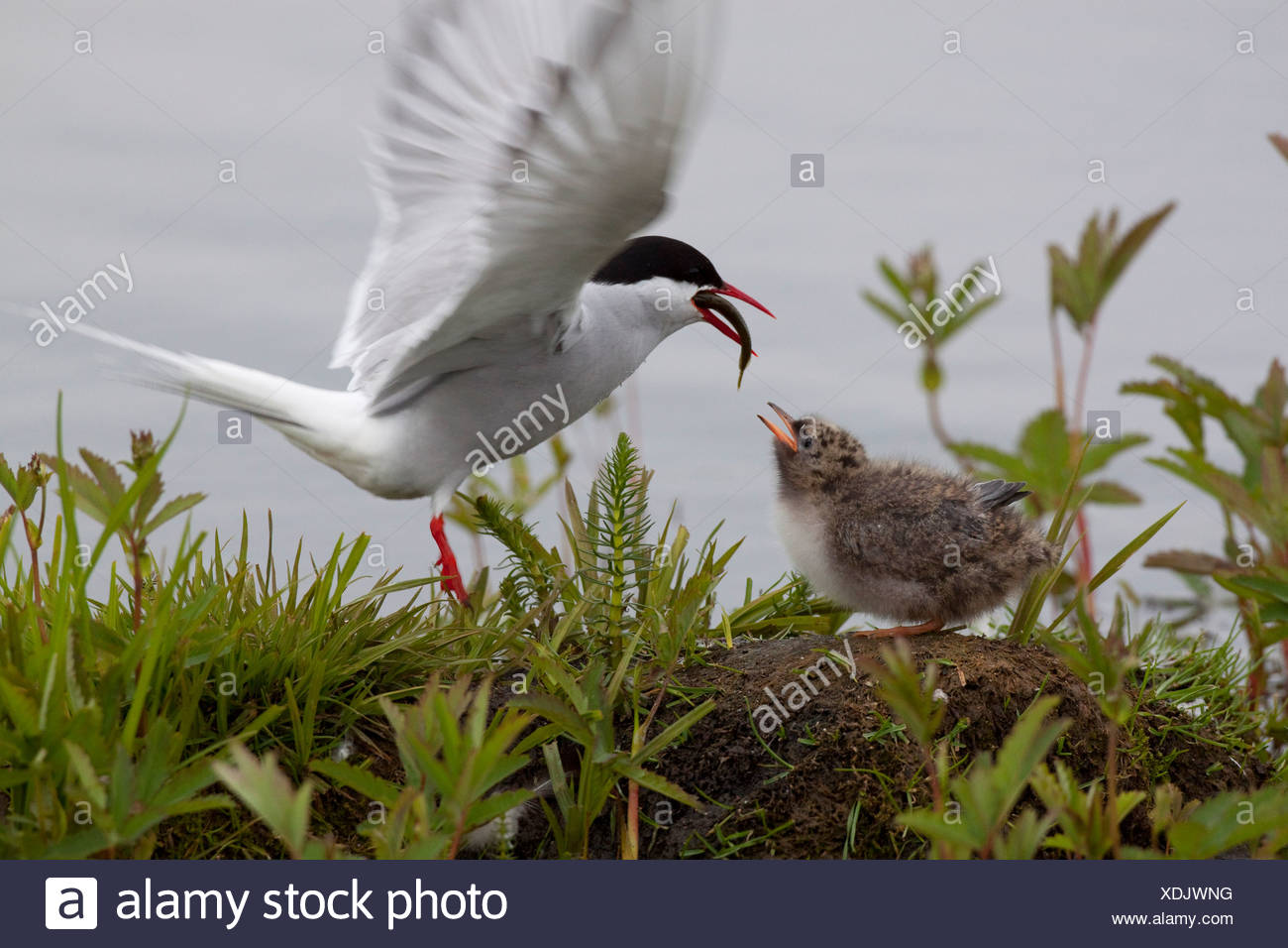 Adult Arctic Tern feeds its chick at Potter Marsh near Anchorage, Alaska - Stock Image