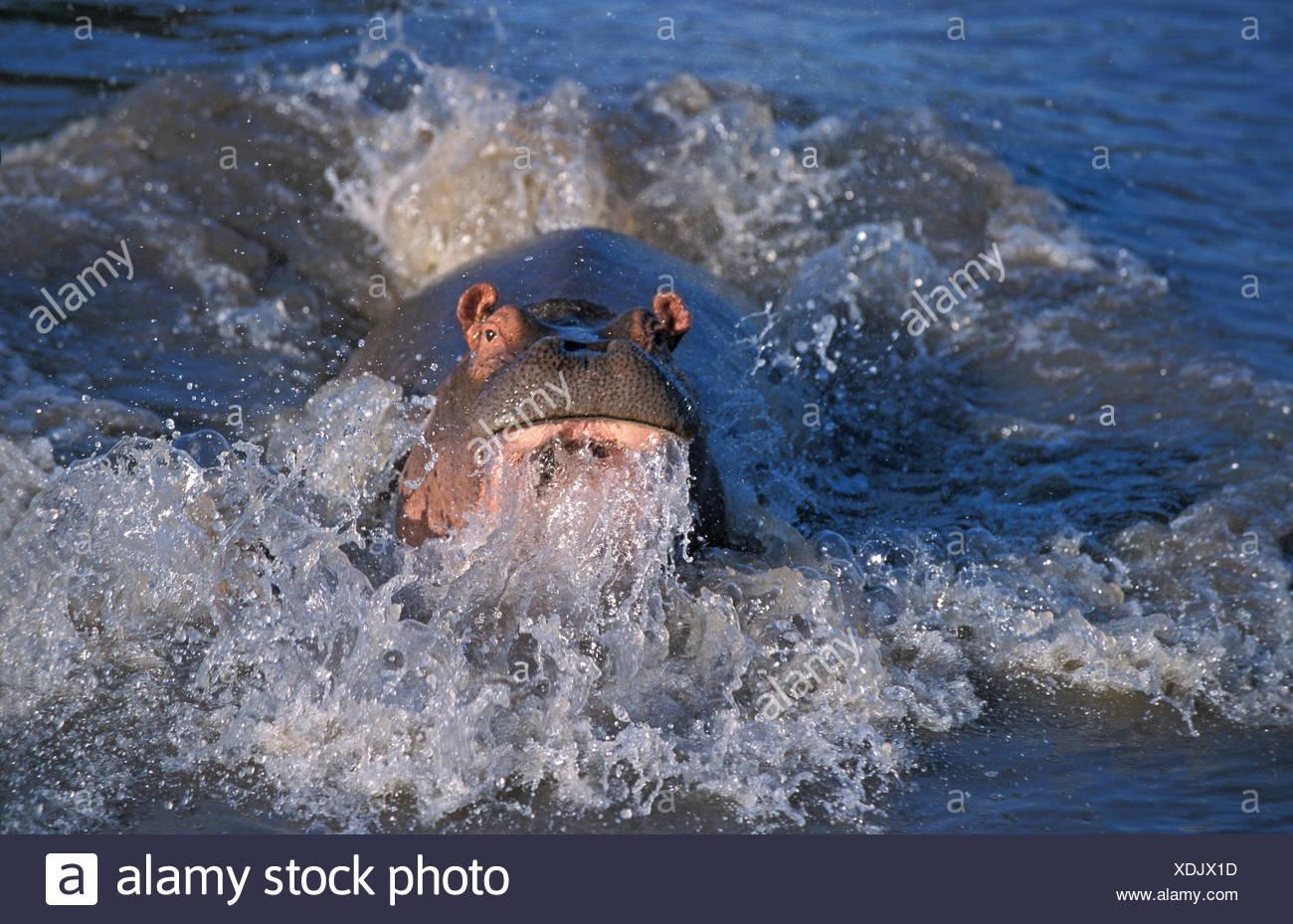 Hippopotamus, hippopotamus amphibius, Charging Adult in the River, Masai Mara Park in Kenya - Stock Image