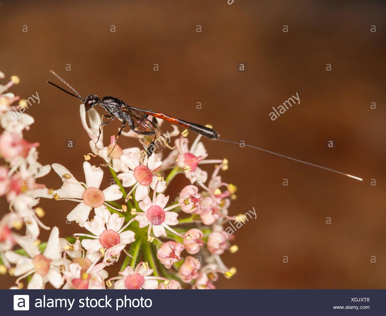 Gasteruptiid wasp (Gasteruption jaculator), female foraging on Common Hogweed (Heracleum sphondylium), Germany Stock Photo