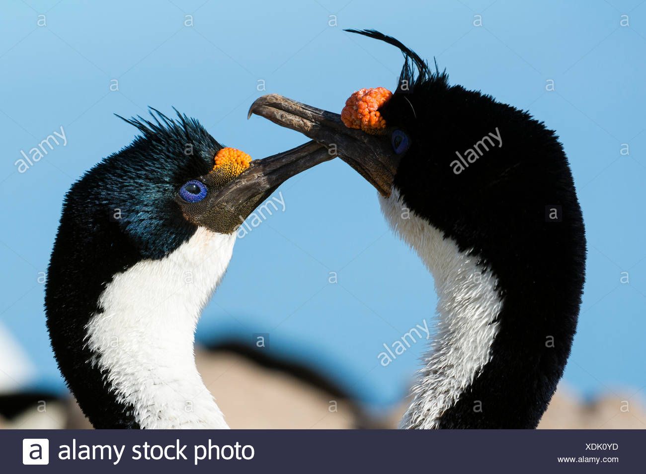 Imperial shag pair, Leucocarbo atriceps, courting. - Stock Image