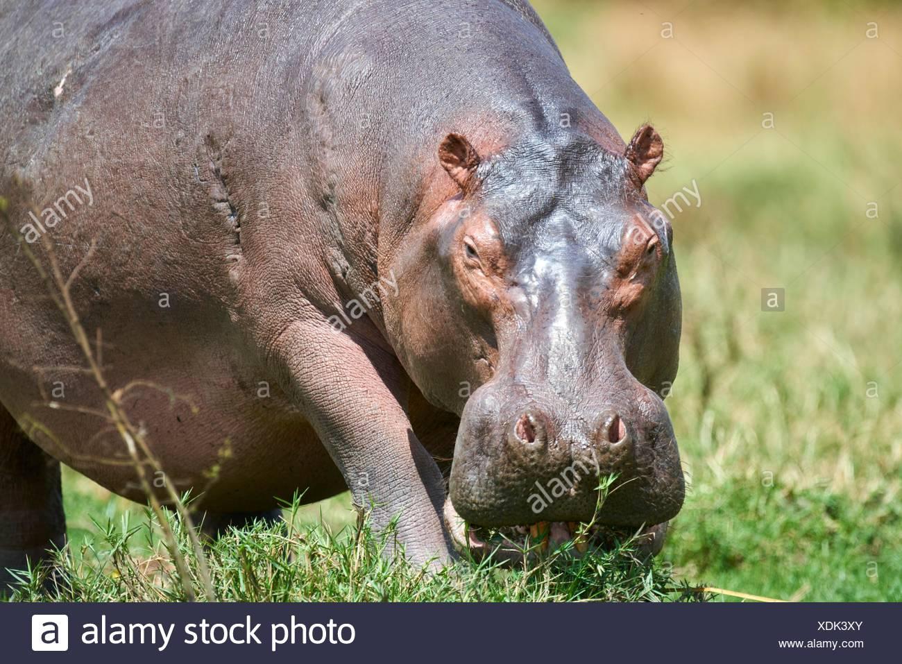 Hippopotamus grazing (Hippopotamus amphibius) Murchisson Falls National Park, Uganda. Stock Photo