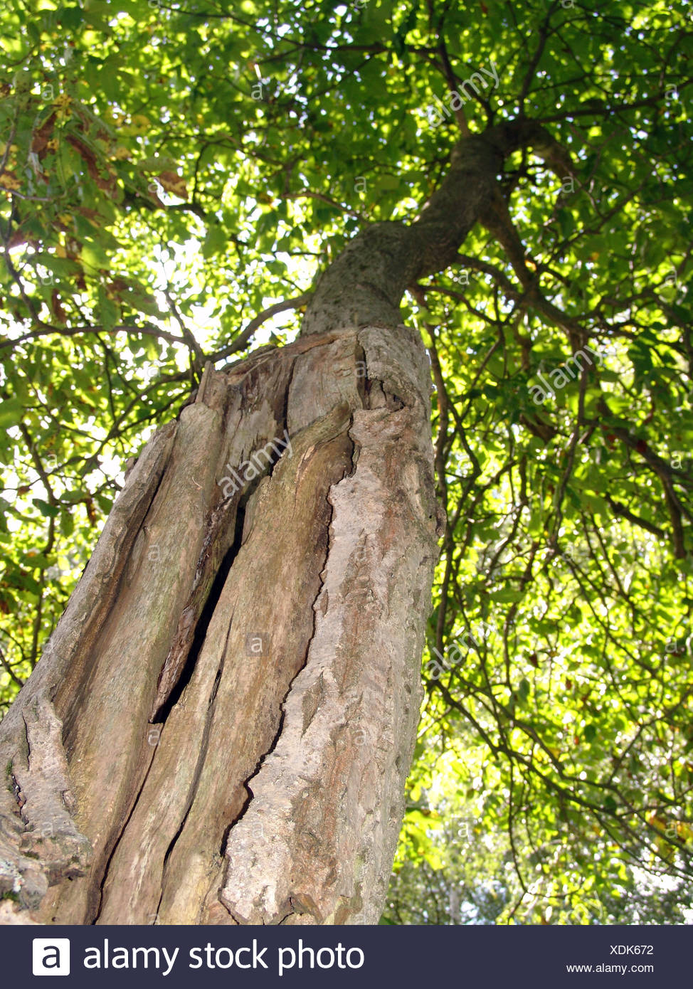 tree trunk fruit nuts nut walnuts walnut-tree sick ill old