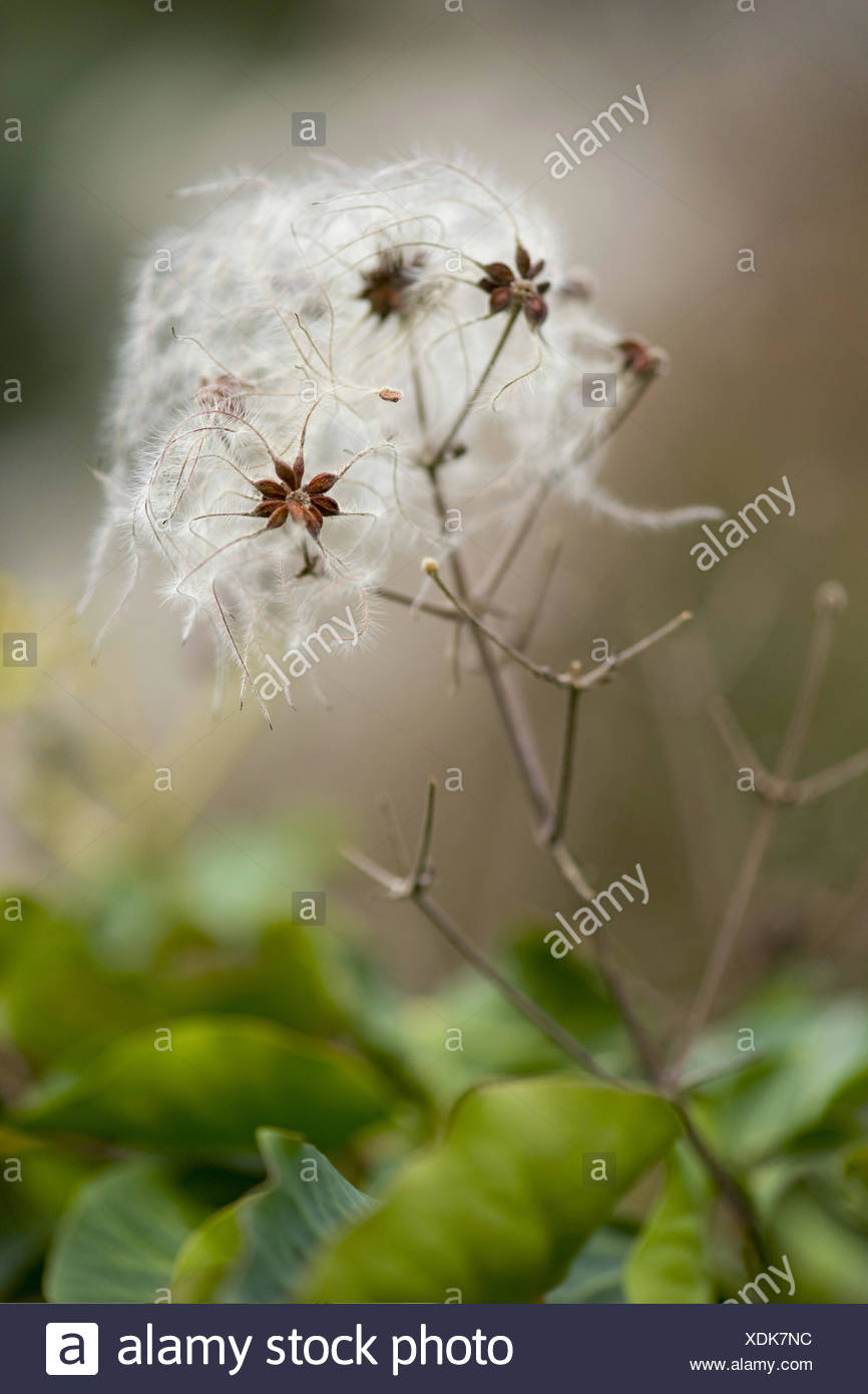 old man's beard, clematis vitalba - Stock Image