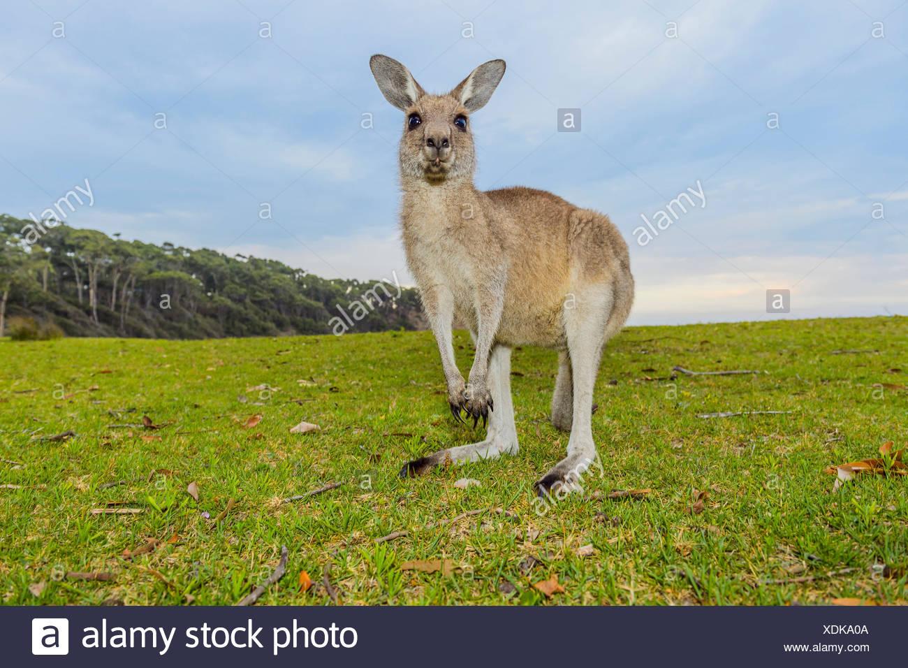 Grey Kangaroo, Macropus giganteus, Murramarang National Park, New South Wales, Australia - Stock Image