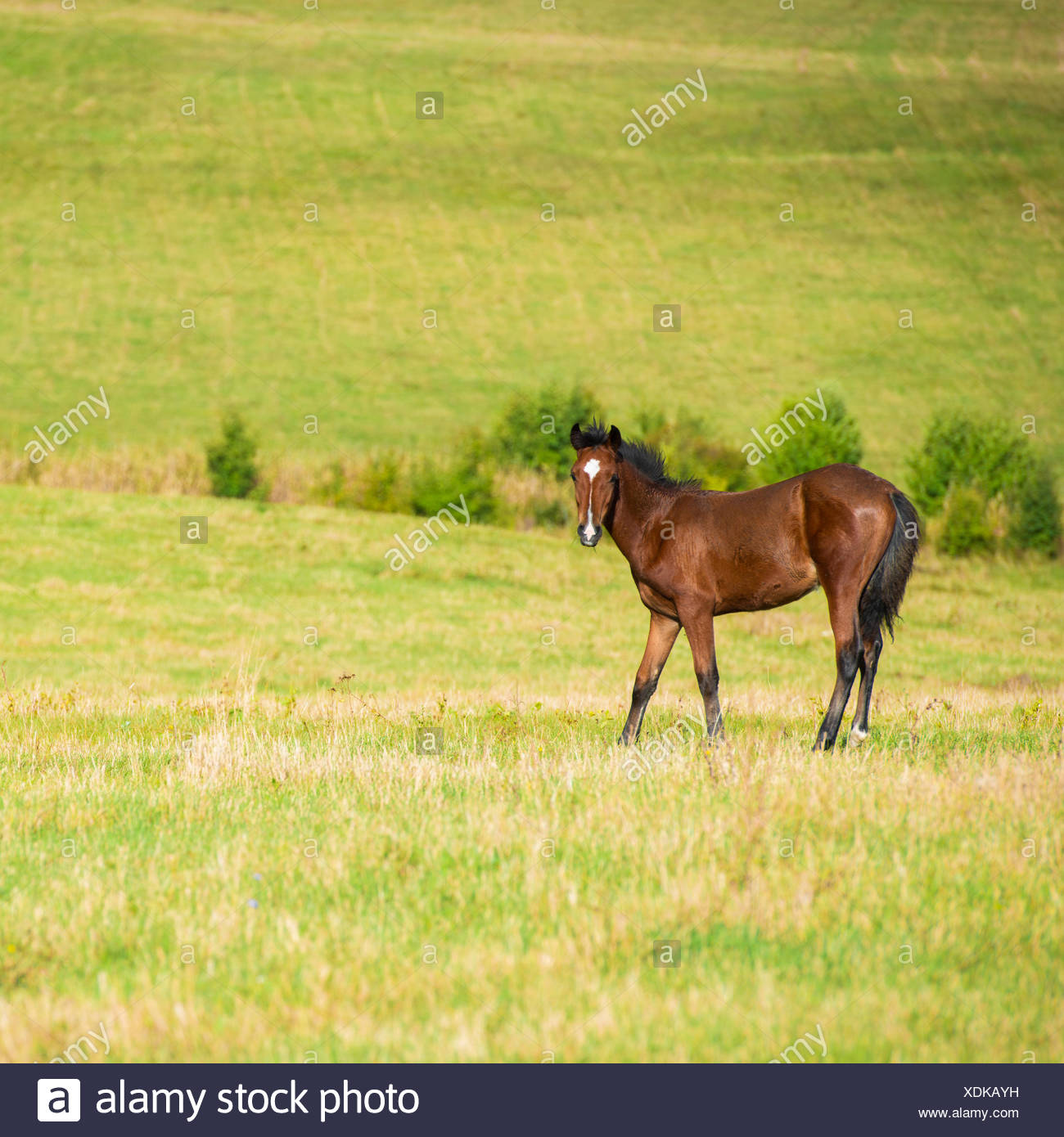Dark bay horse - Stock Image