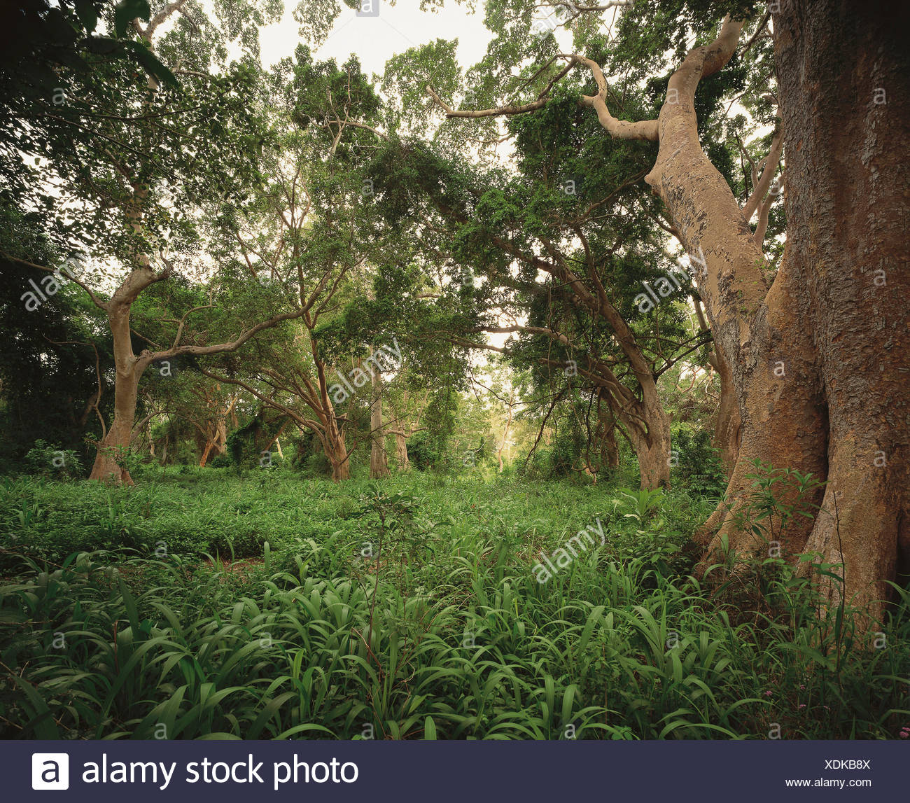 Forest scene, Mkuze Game Reserve, Kwa-Zulu Natal, South Africa, Africa. - Stock Image