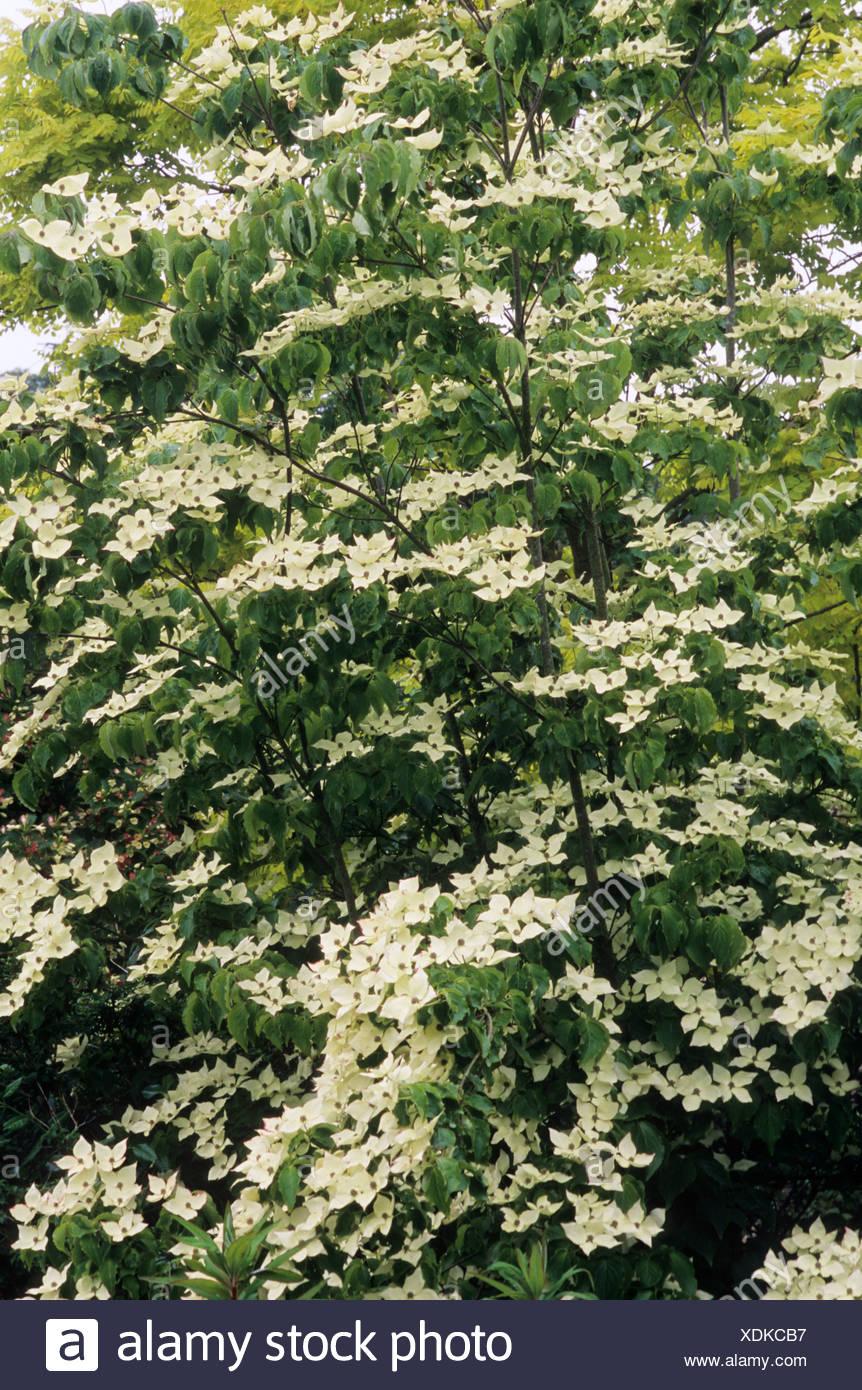Albero Con Fiori Bianchi cornus kousa var chinensis whole tree stock photos & cornus