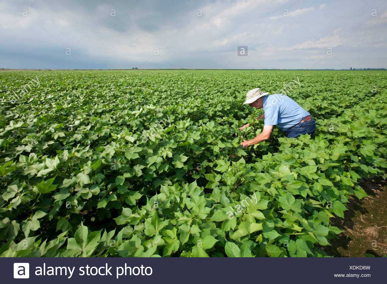 A crop consultant inspects a mid growth cotton crop in the advanced boll set stage for mid to late season insects / Arkansas. - Stock Image