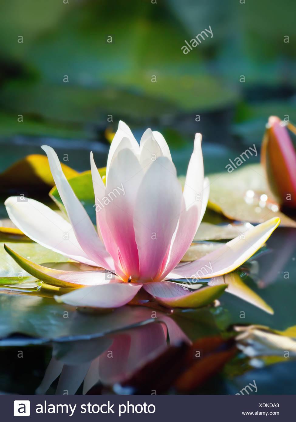 Beautiful lotus flower stock photos beautiful lotus flower stock beautiful lotus flower and background stock image izmirmasajfo Images