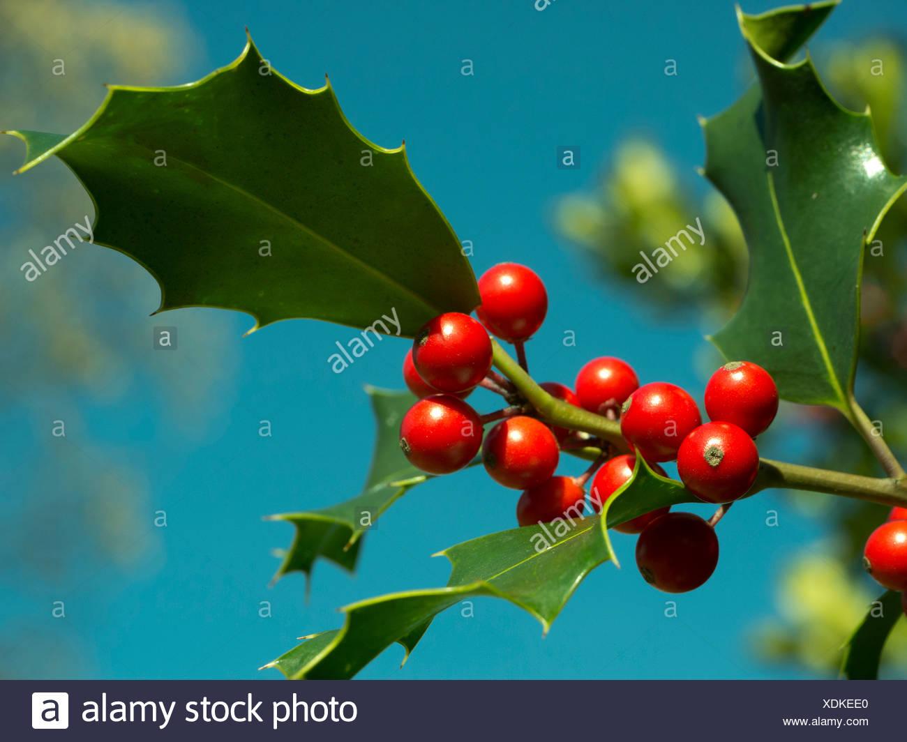 berry, drupe, Emmental, flora, fruit, shrub, bush, toxicity, inflorescence, leaf, red, nature, canton Bern, Lüderenalp, Switzerl - Stock Image