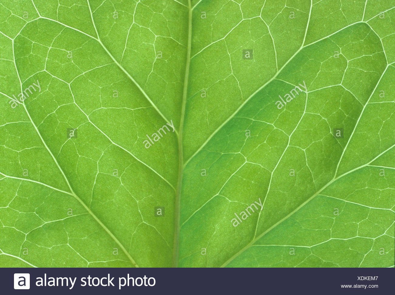 bilaterally symmetrical ivy leaf - Stock Image