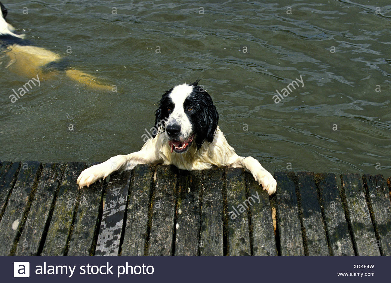 Landseer Hund,water,bridge, - Stock Image