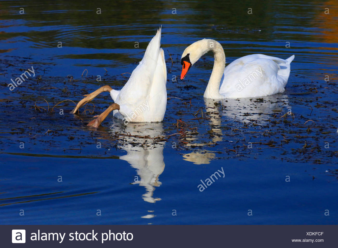 mute swan (Cygnus olor), two mute swans on the lake, Germany Stock Photo