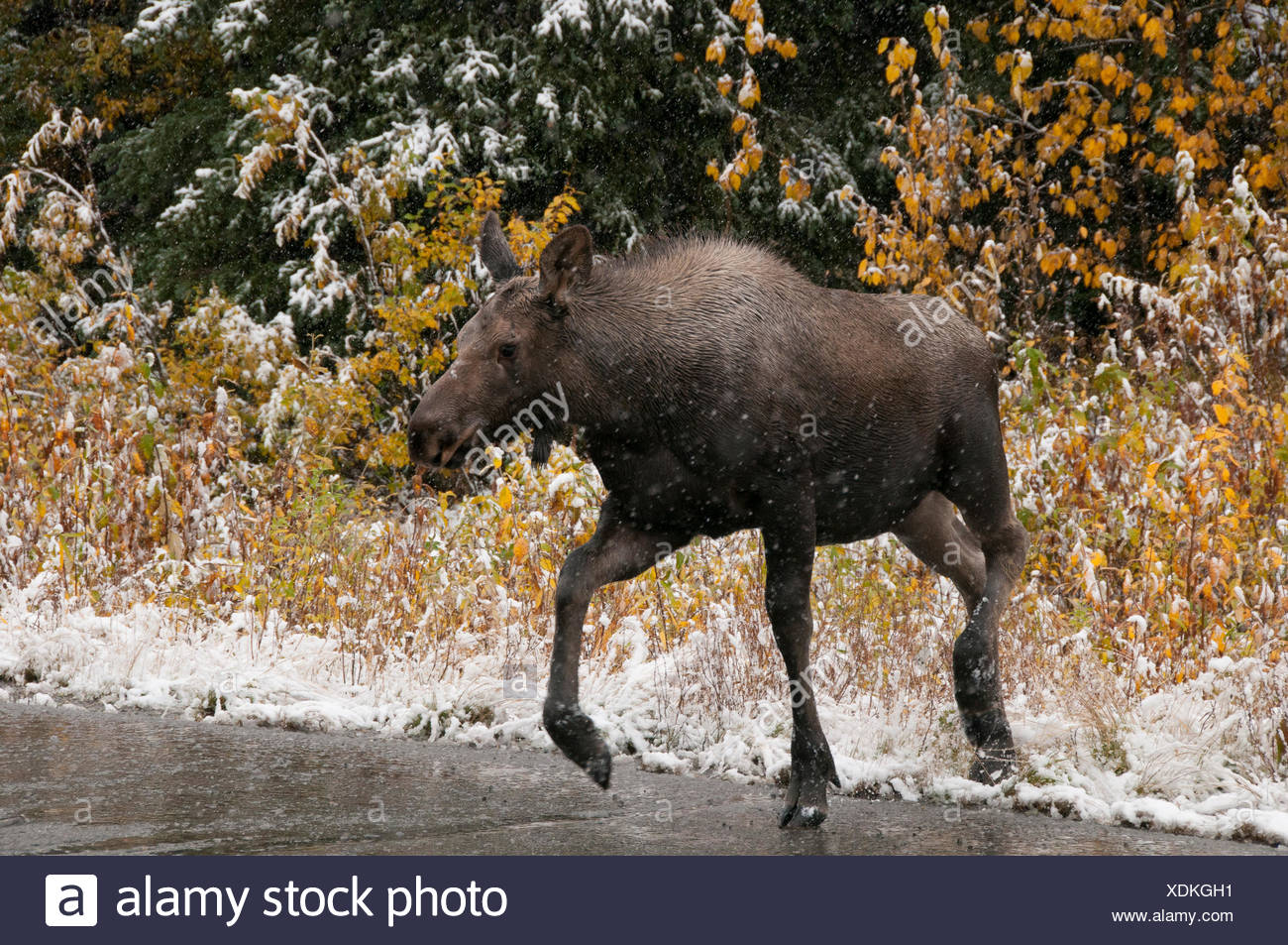 Moose calf (Alces alces) crossing wet, icy highway in first snows of winter season.  Alaska Hwy, Alaska. - Stock Image